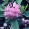 (#106)Rhododendrons