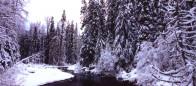 (#089) Skagit Cottonwoods
