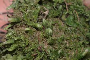 <i>Cephalozia bicuspidata </i>Photo by Hermann Schachner