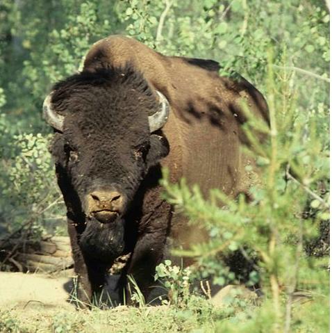 woodbuffalo