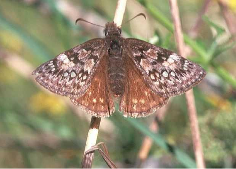 Propertius Duskywings; blue - listed butterfly, photograph by Derrick Marven