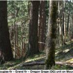 Douglas-fir--Grand fir--oregon grape community