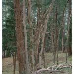 Douglas-fir overtopping Garry Oaks