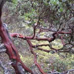 Manzanita on the dry slopes of the bluff