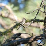 Flycatcher in the pines near Mahoney lake
