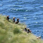 Puffins on Triangle Island Ninety percent of the tufted puffins in Canada breed here as well as most of 12 other species of B.C. seabirds