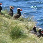 Puffins on Triangle Island.