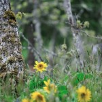 Garry Oak Meadow and Deltoid Balsamroot