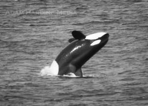 Orca : Adam Harding photo