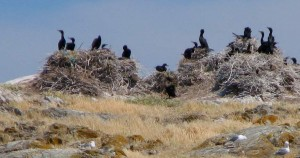 Nesting Double Crested Cororants