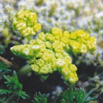Apiaceae        Lomatium utriculatum