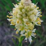 Melanthiaceae        Zygadenus venenosus