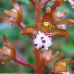 Orchidaceae         Corallorhiza maculata