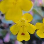 Phrymaceae       Mimulus alsinoides