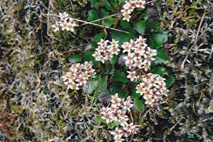 Saxifragaceae  Saxifraga rufidula