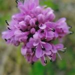 Valerianaceae   Plectrites congesta