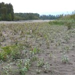 Fraser River sand bar succession