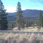 Ponderosa Pine in Trout Creek ER