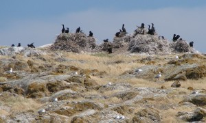 Double-crested Cormorant nesting colony