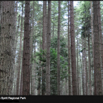 The Forest of Douglas Fir on the UBC Endowment Lands