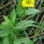 Sneezewort (Helenium autumnale)