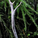 Xylaria hypoxylon (Carbon antlers)