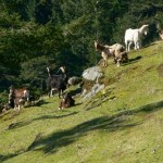 Group of wild goats Taken on Sun, 17 Feb 2008 at Saturna Island, BC, CA . photo by Emmanuel Borsboom