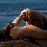 Baby Sea lion and mother at Race Rocks