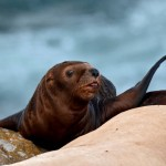 Baby Sea lion at Race Rocks