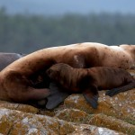 Baby Northern or Steller Sea Lion and mother at Race Rocks