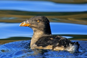 Rhinocerous auklet photo by Ryan Murphy
