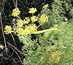 springgoldicon