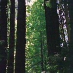 A stand of Old growth Forest