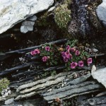 Purple Saxifrage (Saxifraga oppositifolia), center of reserve -
