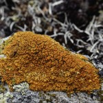 Orange lichen (Xanthoria elegans) - gets nitrogen from bird poop -
