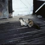 Hoary marmot inside old lookout building (side view) - Below Sunbeam Cr.