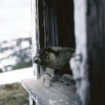 Hoary Marmot looking out window of old lookout building - Below Sunbeam Cr. Ecological Reserve, near McBride, BC June 1991 - Art Carson photo