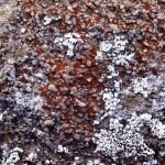 Lichen - possibly Caloplaca spp. and an unknown whitish lichen -