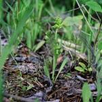 Moonwort Fern (Botrychium lunaria)