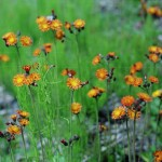 European Orange Hawkweed (Hieracium aurantiacum) beside Highway 16, (Invasive)