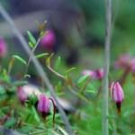 Bog Cranberry (Oxycoccus oxycoccos)