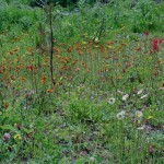 Invasive and native wildflowers beside Highway 16 near Bednesti.:Orange Hawkweed, Oxeye daisy, red clover etc.