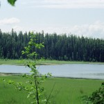 Black Spruce and Tamarack grow in the wetlands of the Bednesti Lake reserve