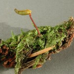 Buxbaumia piperi and moss