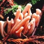 Clavaria fumosa