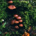 Cortinarius californicus