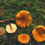 Cystoderma amianthinum var rugosreticulatum