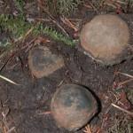 Elaphomyces granulosum