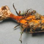 Hydnellum auriantiacum var bulbipodium