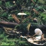 Marasmius salalis